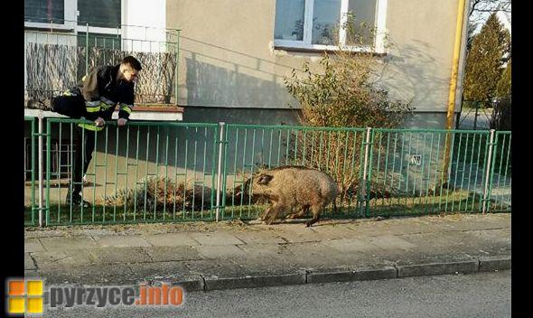 Dziki wciąż zagrażają mieszkańcom Pyrzyc!